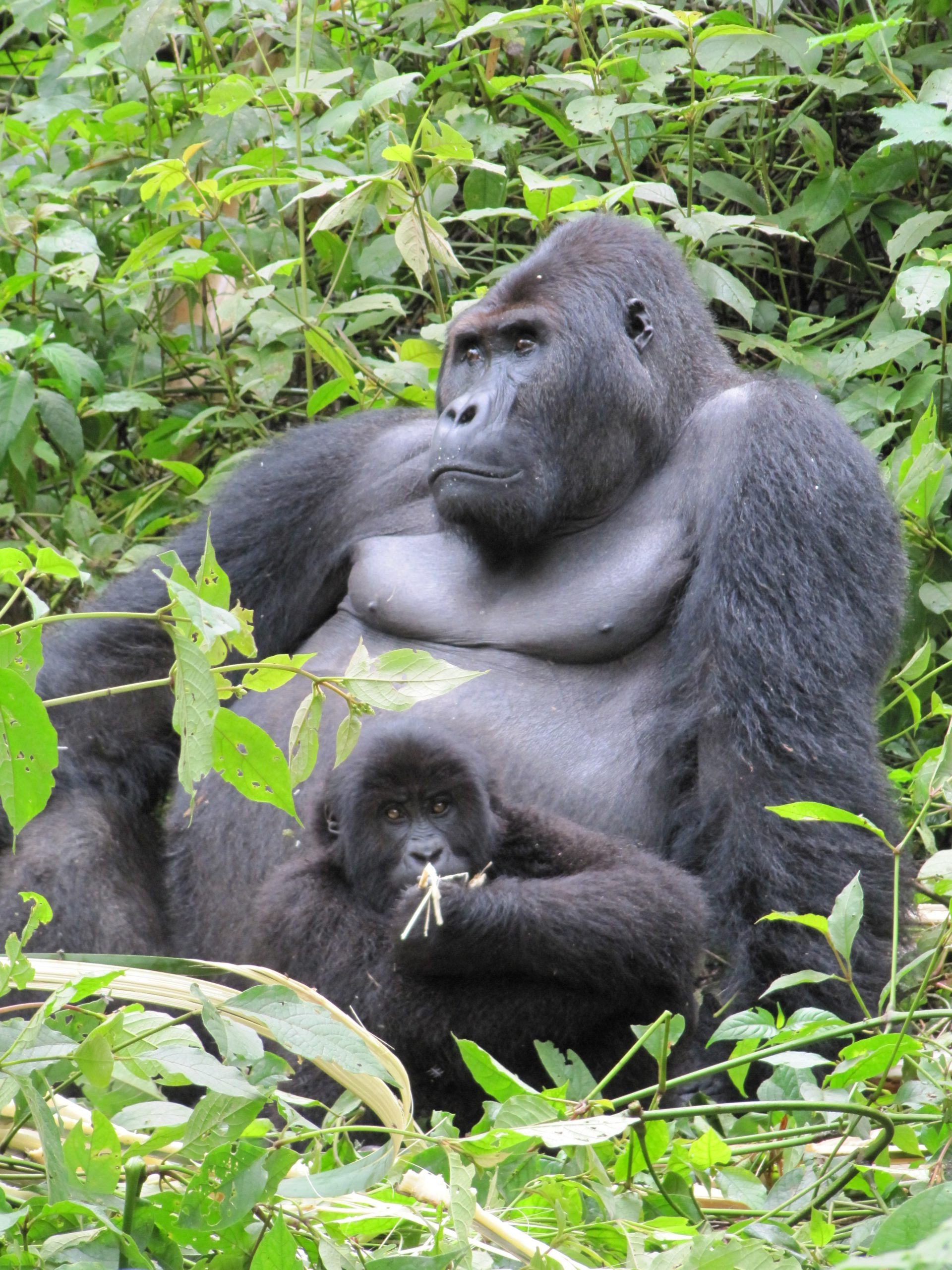 Prosiect Fauna and Flora International yn cefnogi cymunedau a gorilaod