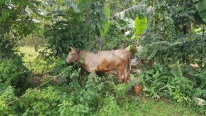 Agroforestry trees provide shade for cow and chickens